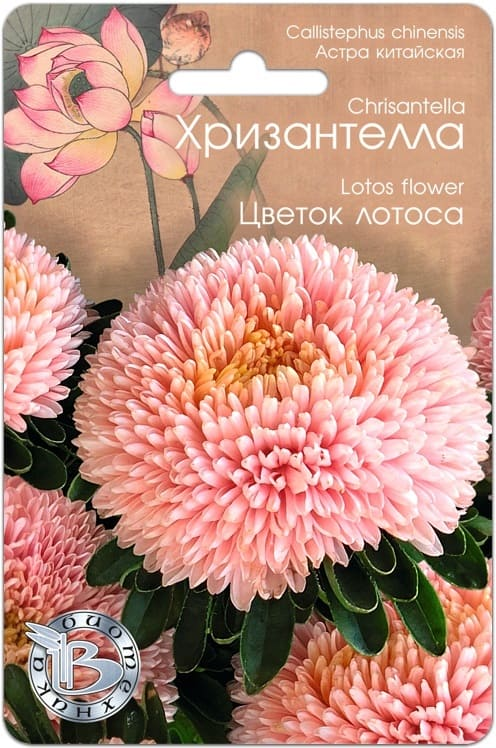 Астра китайская Хризантелла Цветок Лотоса
