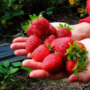 Для ягодных культур